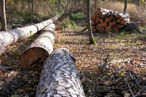 В Пензенской области незаконно вырубили сосен на 1 млн рублей